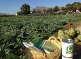 Vega Baja artichoke harvesting under way