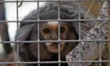 Alicante Guardia Civil search for HIV-risk titi monkeys