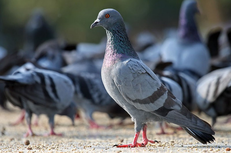 210-euro fines proposed for frightening the pigeons in Alicante!