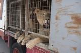 Villena big cat rescue centre celebrates landmark circus animal act victory