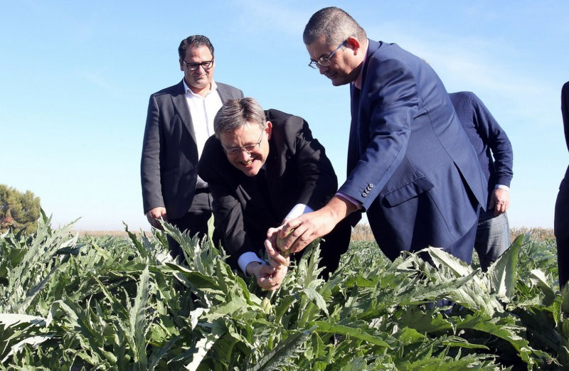 Drought dampens the mood as the Vega Baja artichoke harvest begins