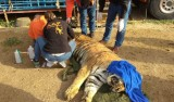 Alicante centre rescues lions and tiger from circus imprisonment