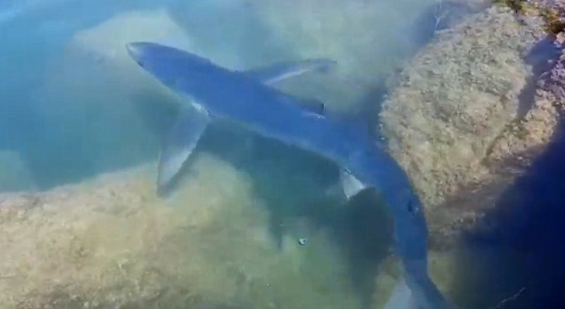 2-metre shark spotted in the port of Torrevieja