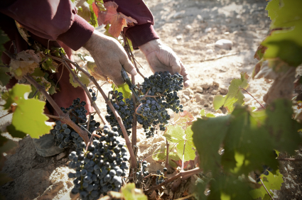 <span style='color:#780948'>ARCHIVED</span> - Bumper year for Murcia vineyards