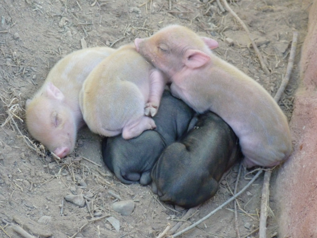 <span style='color:#780948'>ARCHIVED</span> - Albino Vietnamese pot-bellied pigs born in Terra Natura Murcia