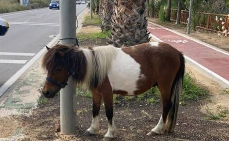 <span style='color:#780948'>ARCHIVED</span> - Police rescue lost pony wandering alongside busy Alicante road