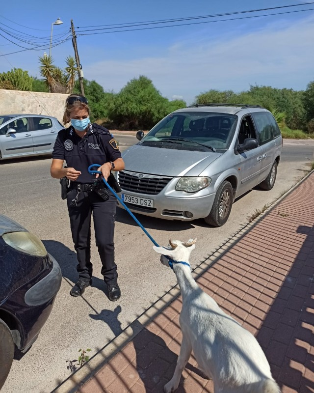 Lone goat on the loose in Torrevieja captured by police