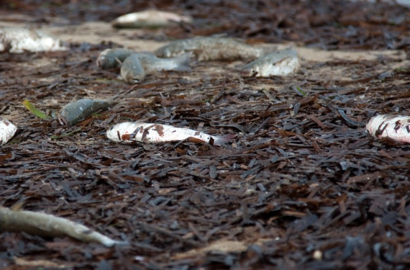 Thousands of dead fish washed up on Alicante coast