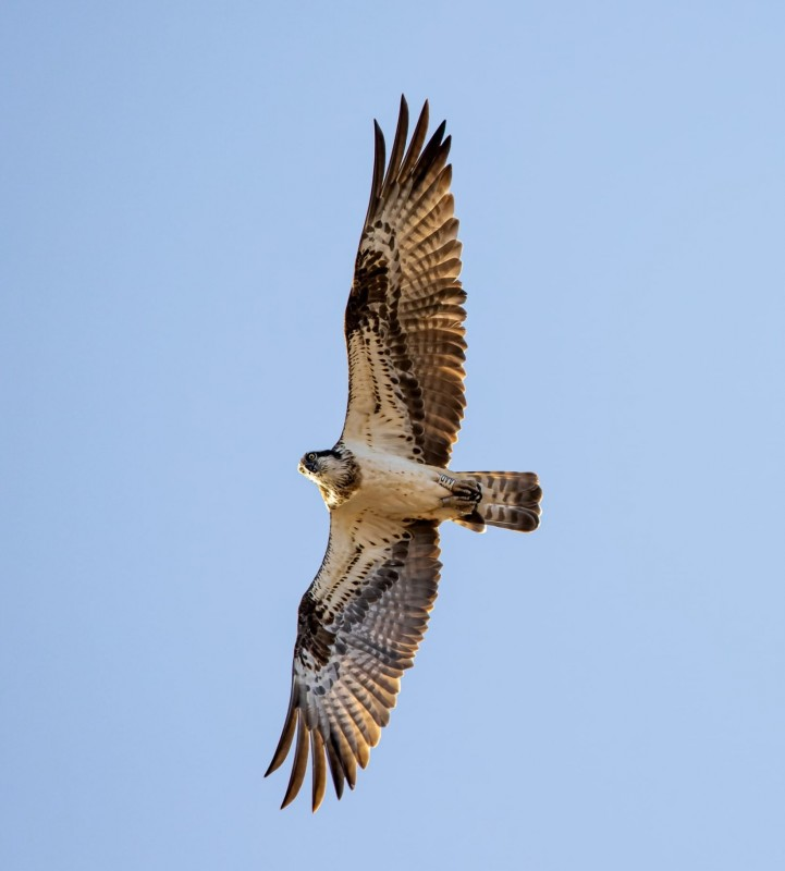 20 rare osprey chicks to be released in Alicante Natural Parks