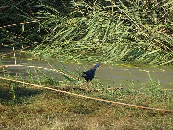 <span style='color:#780948'>ARCHIVED</span> - The purple swamphen returns to the River Segura